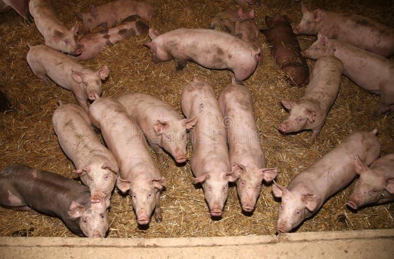 Porcellini che crescono ad una fattoria degli animali industriale fotografie stock
