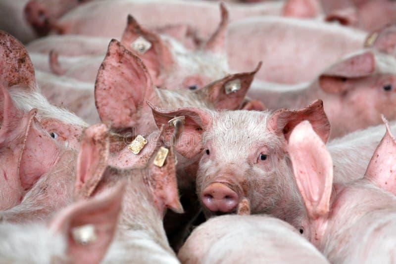 Porcellini da un'azienda agricola di allevamento del maiale fotografie stock libere da diritti