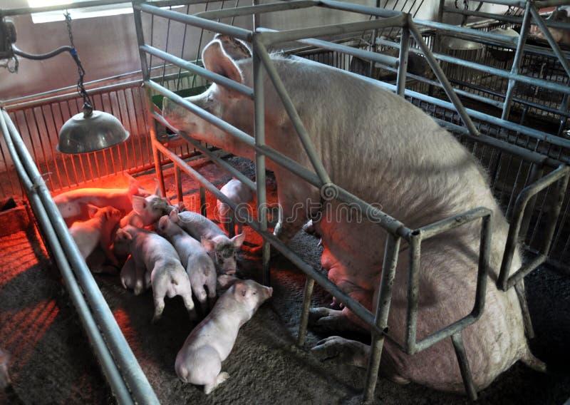 Porcellini e scrofe in una gabbia con il riscaldamento infrarosso fotografia stock