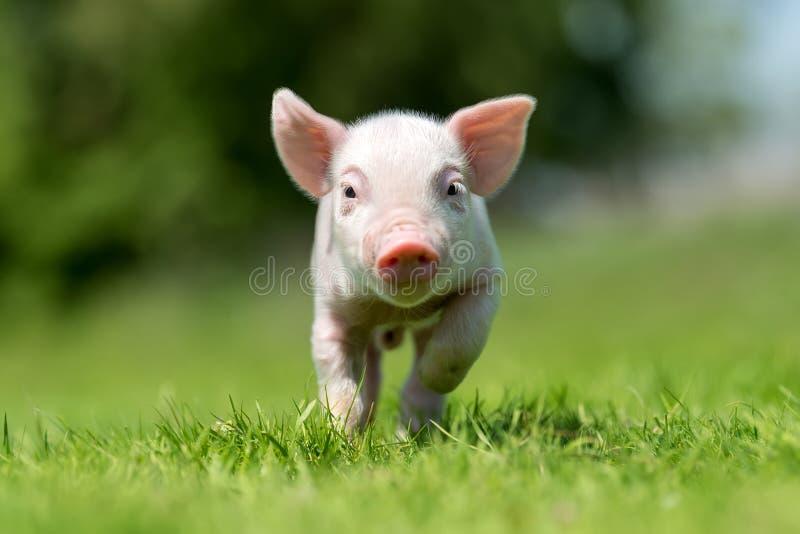 Porcellino neonato sull'erba verde della molla fotografie stock libere da diritti