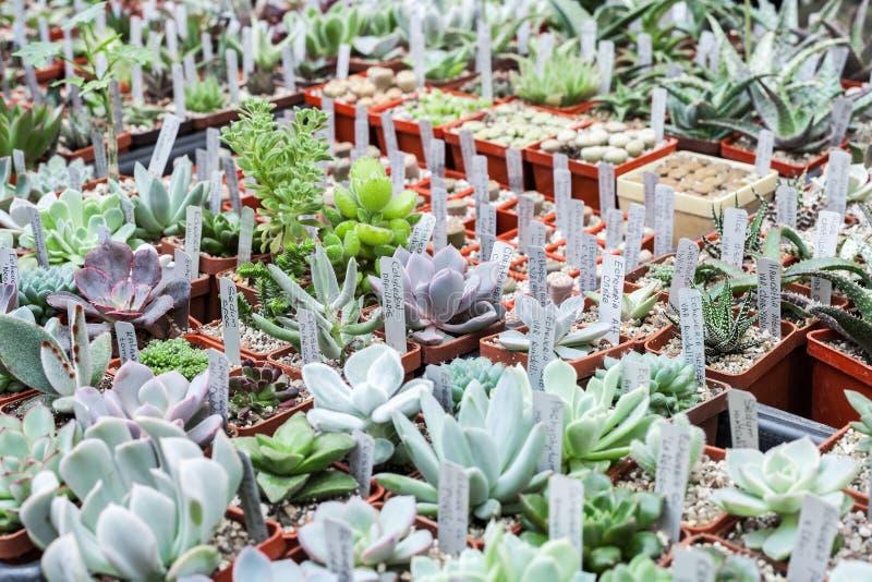 Porción de cactus y suculento en venta de los potes en mercado de la flor imagen de archivo libre de regalías