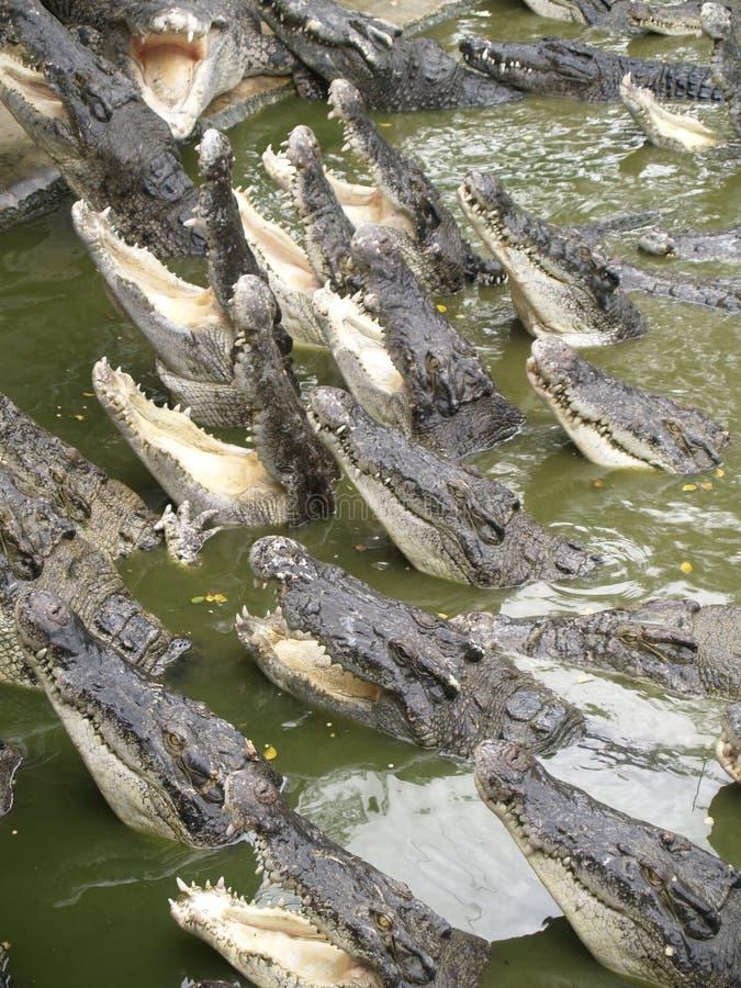 Porción de cocodrilos fotos de archivo