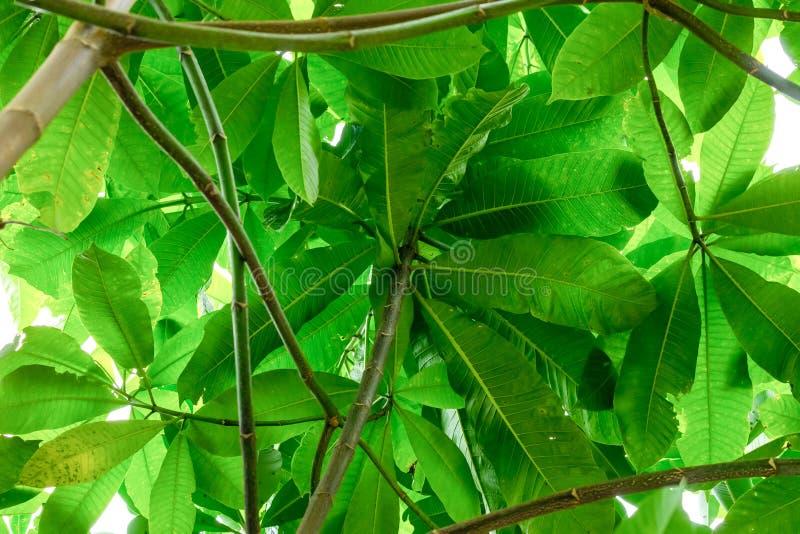 Porción de hojas substrato bajo del follaje soleado verde claro del fondo del frangipani de Tailandia de la flor del plumeria del fotografía de archivo