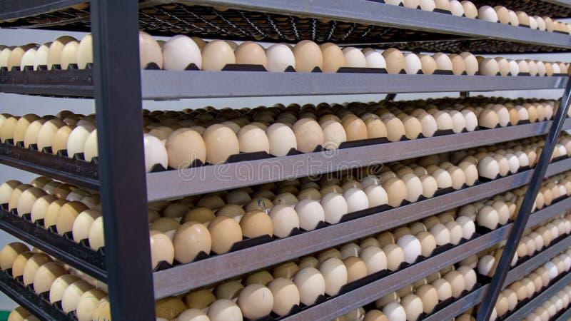 Porción de huevos en la bandeja, el negocio del huevo y el proceso de la capa foto de archivo libre de regalías