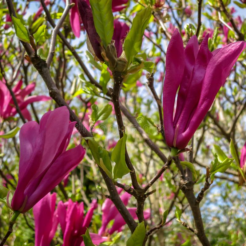 Porción de stellata rosado grande de la magnolia del liliiflora x de Susan Magnolia de la magnolia de las flores y de los brotes  imagen de archivo