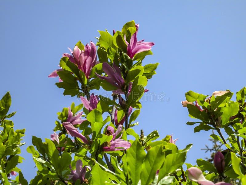 Porción de stellata rosado grande de la magnolia del liliiflora x de Susan Magnolia de la magnolia de las flores y de los brotes  foto de archivo