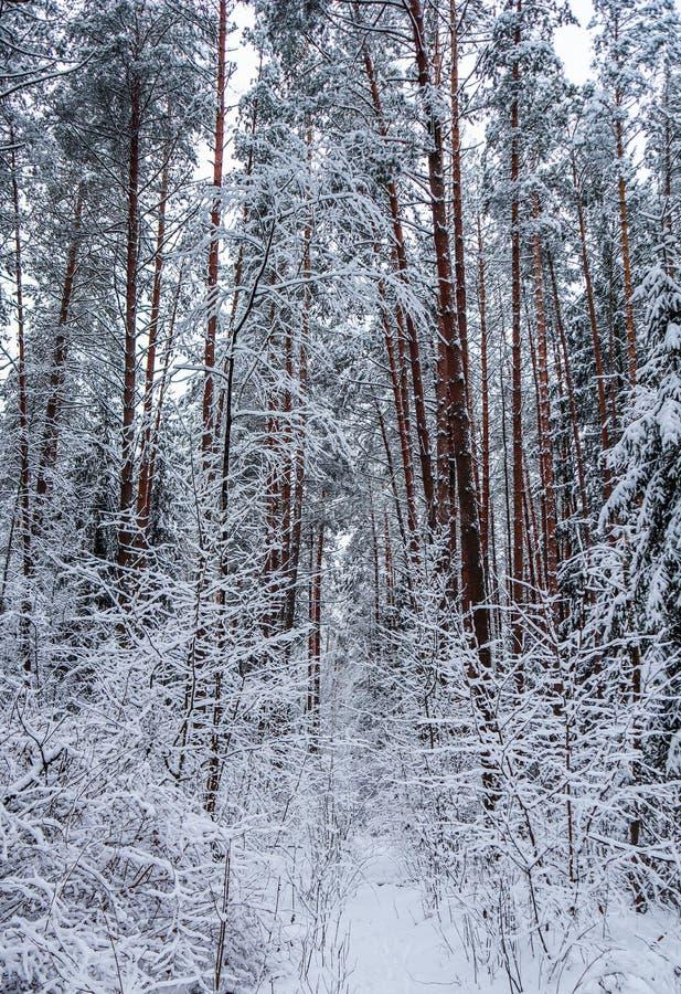 Porción del  de Ð de ramitas finas cubiertas con nieve en bosque del invierno del cuento de hadas foto de archivo