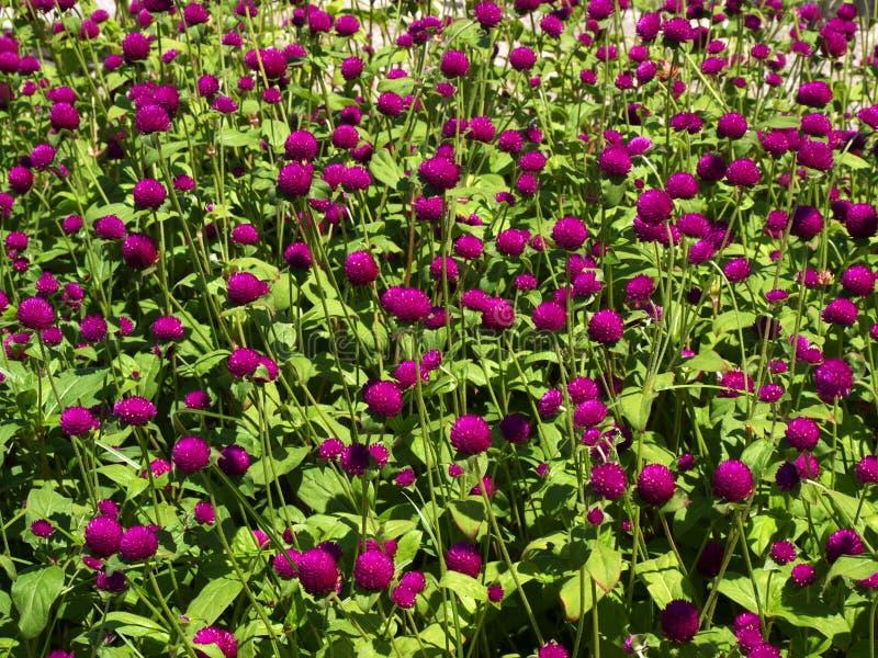 Porción rosada de la cama de flor del trébol en la luz del sol. imagen de archivo libre de regalías