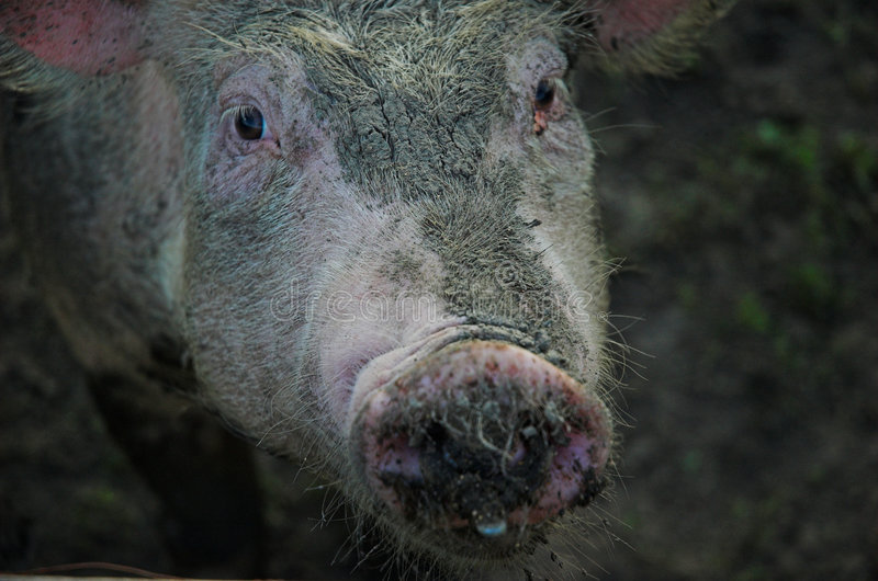 Porcin photo libre de droits