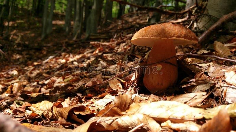 porcini de champignon de couche photos libres de droits