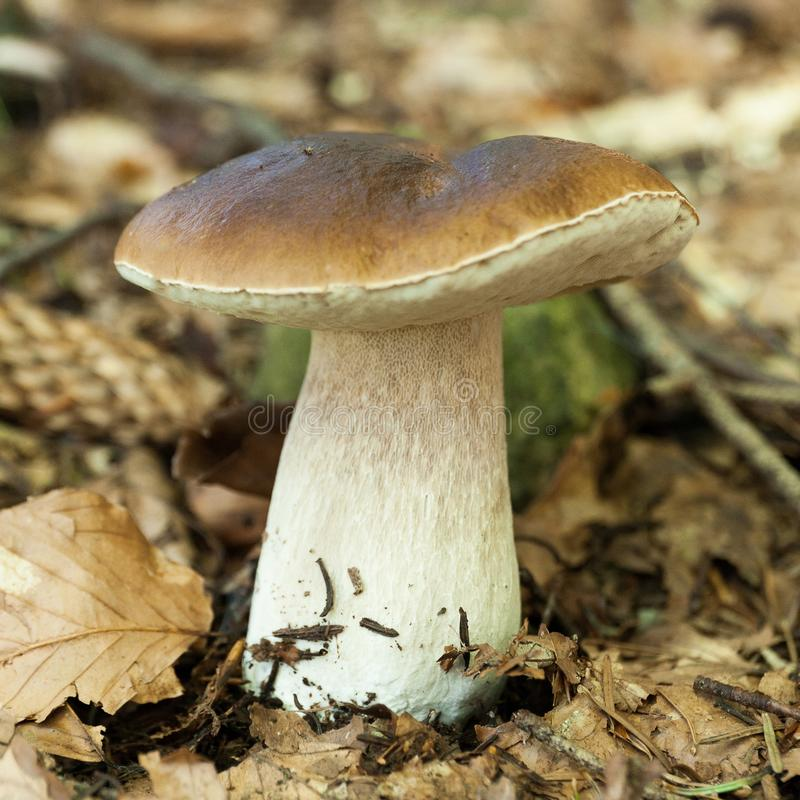 Porcini forest mushroom, autumn brown boletus, cap. Wild penny bun, cep royalty free stock image