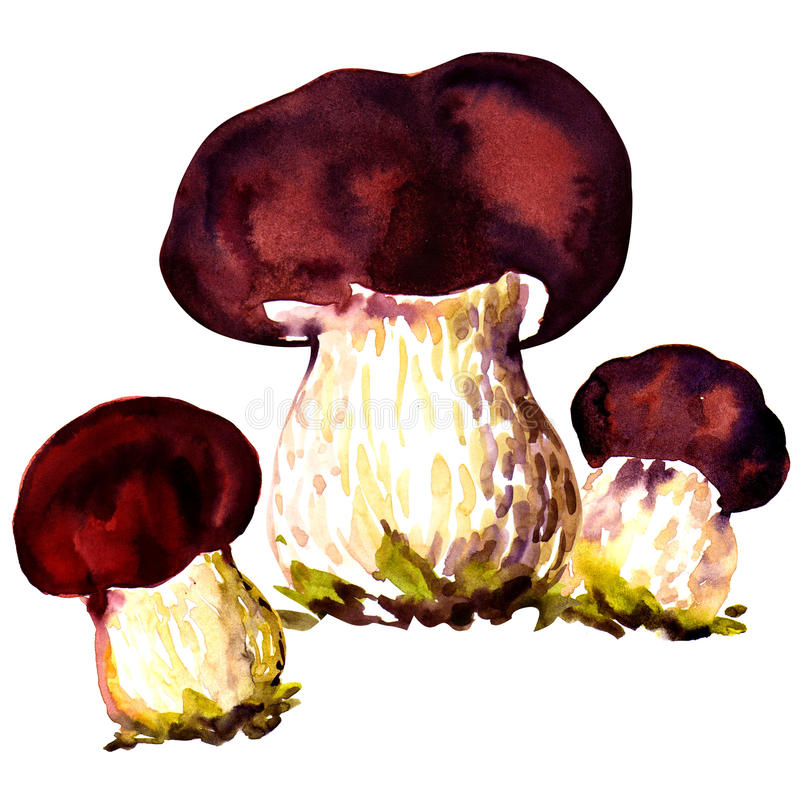 Porcini mushrooms. Cep on white background. Three porcini mushrooms. Cep, watercolor painting on white background stock illustration