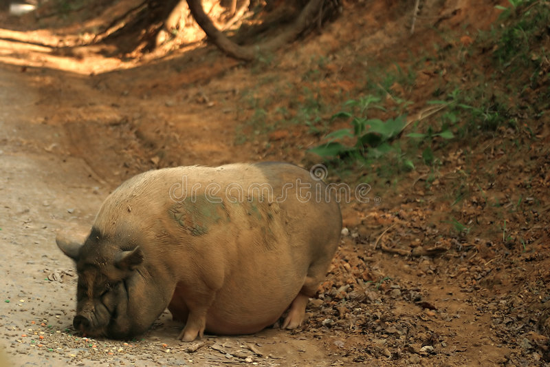 Download Porcino fotografia stock. Immagine di agricoltura, sporco - 204750