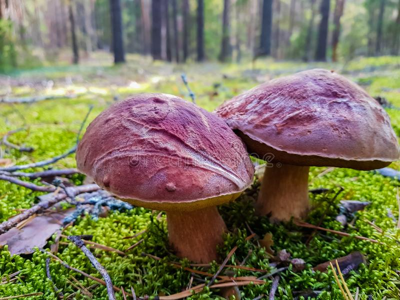 Porcino nel muschio e nel pinery di verde di foresta Caccia del fungo Scena della foresta di estate fotografia stock libera da diritti
