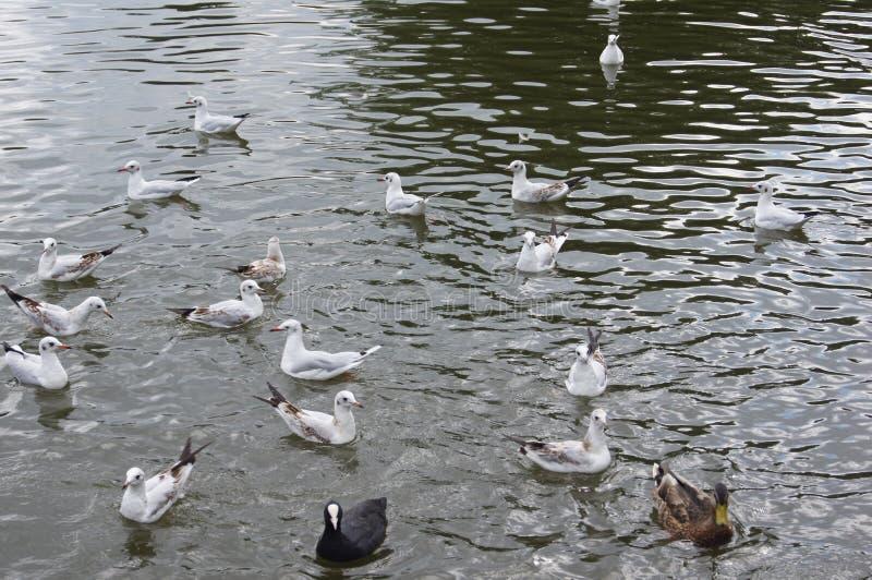 Porciones de aves acuáticas fotos de archivo