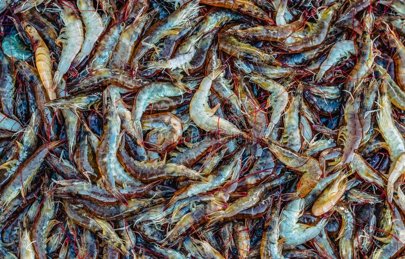 Porciones de camarón crudo fresco del mar imagen de archivo libre de regalías