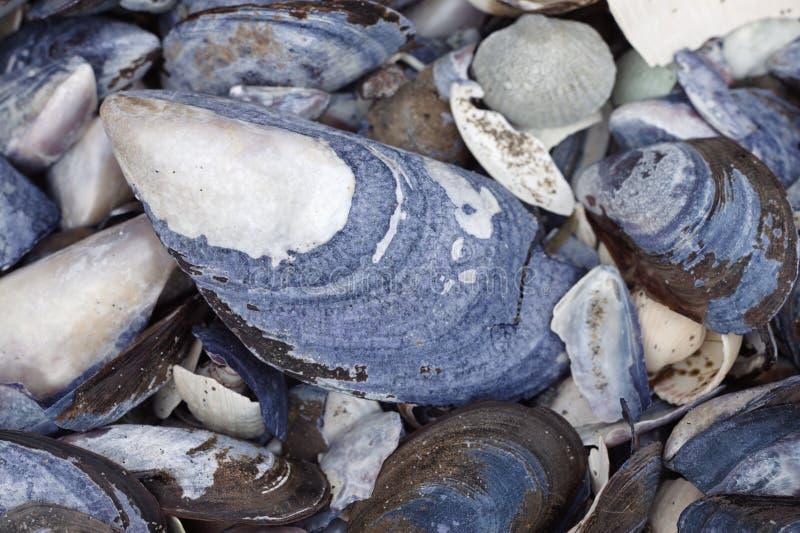 Porciones de conchas marinas, cierre para arriba imágenes de archivo libres de regalías