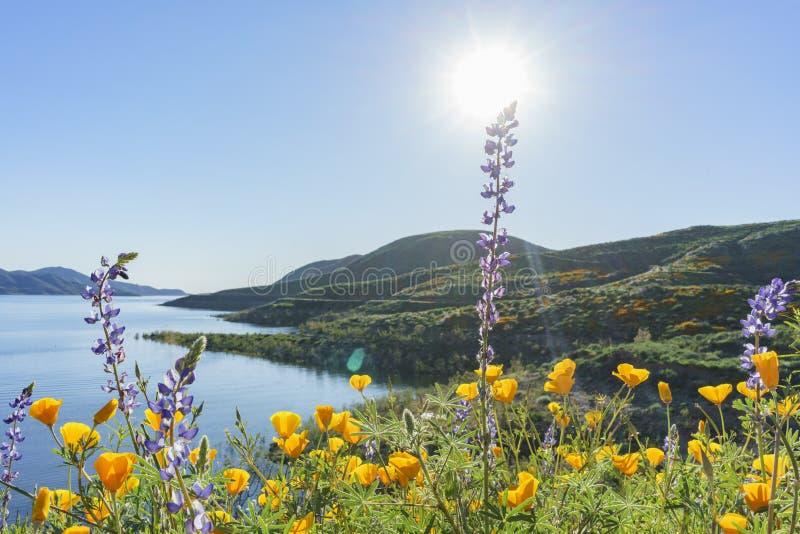 Porciones de flor de la flor salvaje en Diamond Valley Lake imagen de archivo