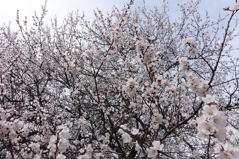 Porciones de flores blancas en ramas del albaricoque en primavera imagen de archivo