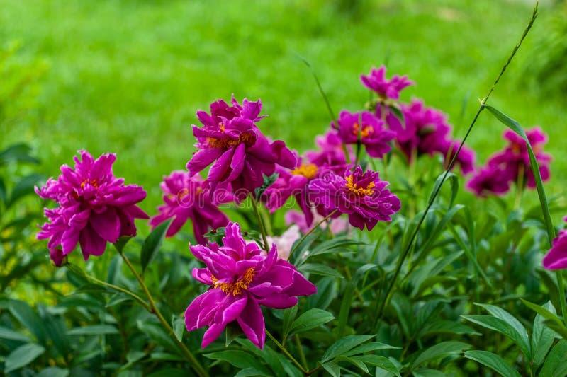 Porciones de flores rosadas grandes de la peonía del flor en arbusto grande en el fondo verde del jardín, tiempo soleado fotos de archivo libres de regalías