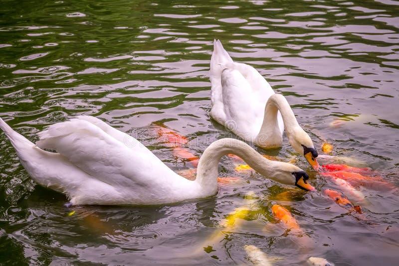 Porciones de Koi Carp Fish Kissing colorido con dos cisnes blancos fotografía de archivo libre de regalías