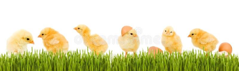 Porciones de pollo del bebé y de hierba verde fresca fotografía de archivo libre de regalías