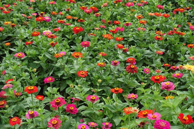 Porciones de rojo, rosado, magenta, naranja, flores amarillas del zinnia imagen de archivo