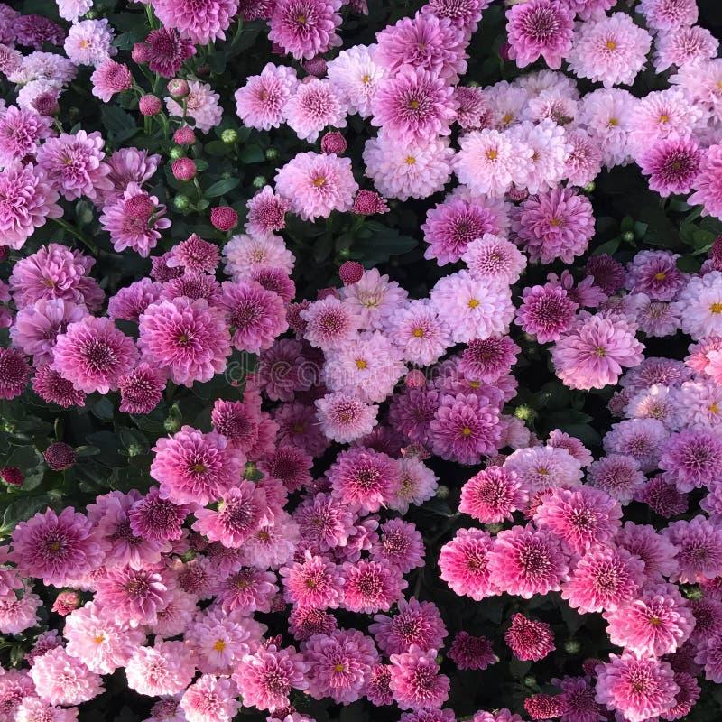 Porciones de rosa imagenes de archivo