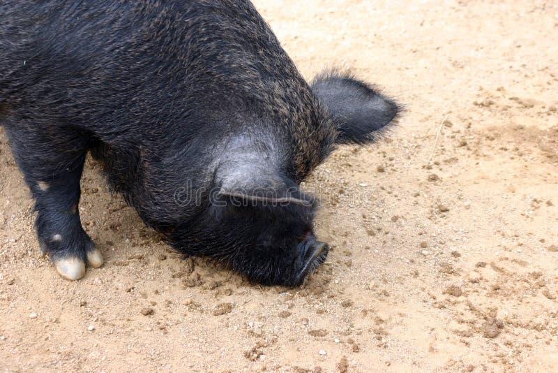 Download Porco foto de stock. Imagem de varrão, bacon, varrões, potbelly - 115254
