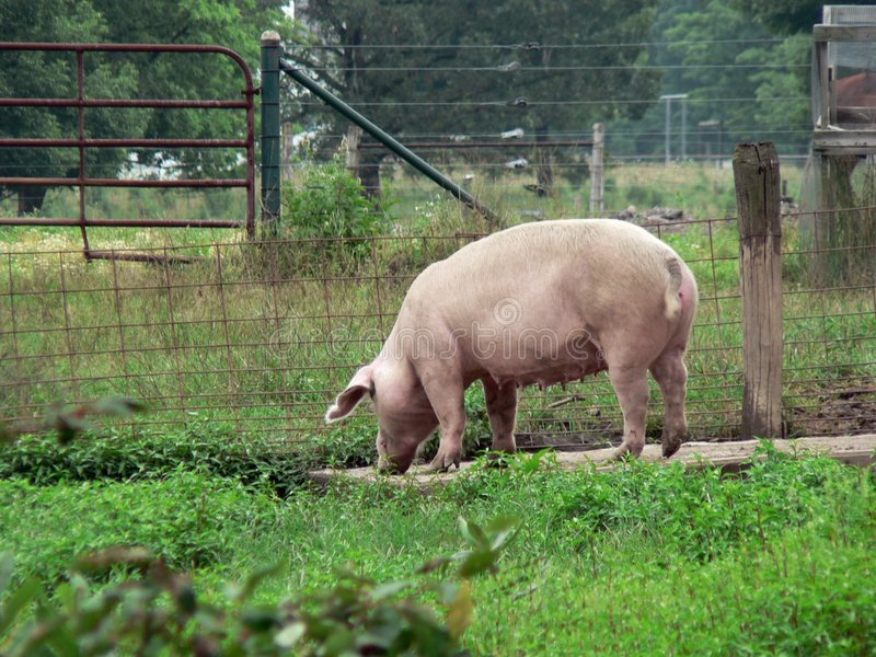 Porco 2 Foto de Stock