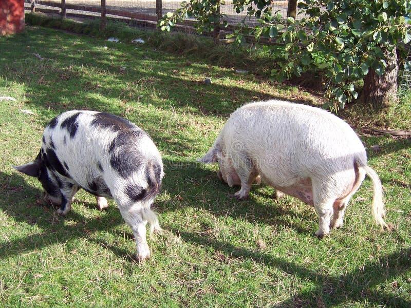 Porco 3 Imagens de Stock Royalty Free