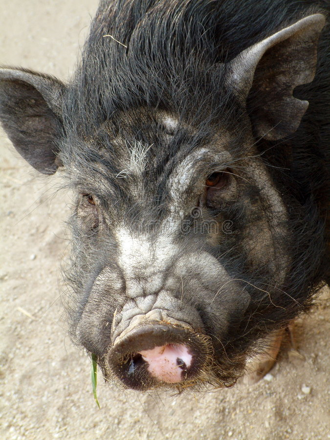 Download Porco foto de stock. Imagem de animal, bacon, animais, potbellied - 54032