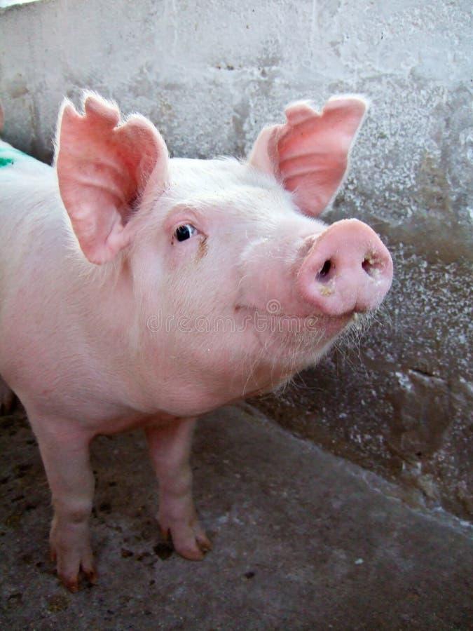 Porco cor-de-rosa imagens de stock