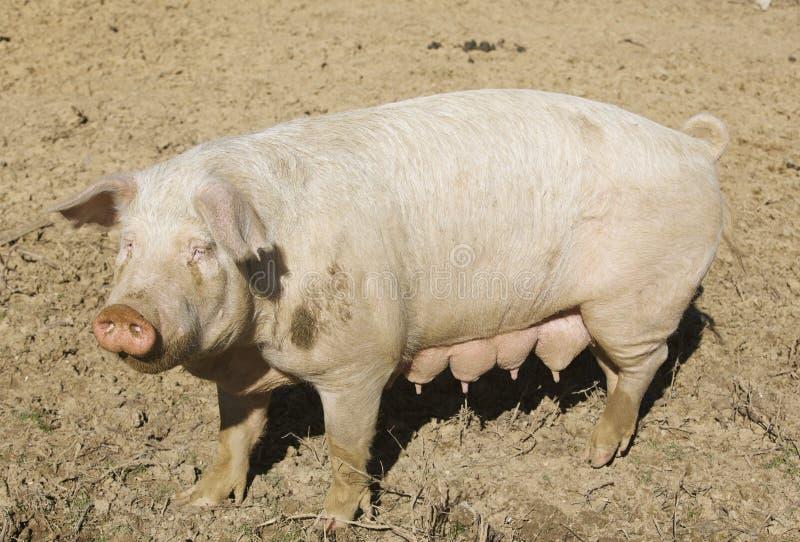 Porco da fêmea adulta na jarda do porco fotografia de stock royalty free