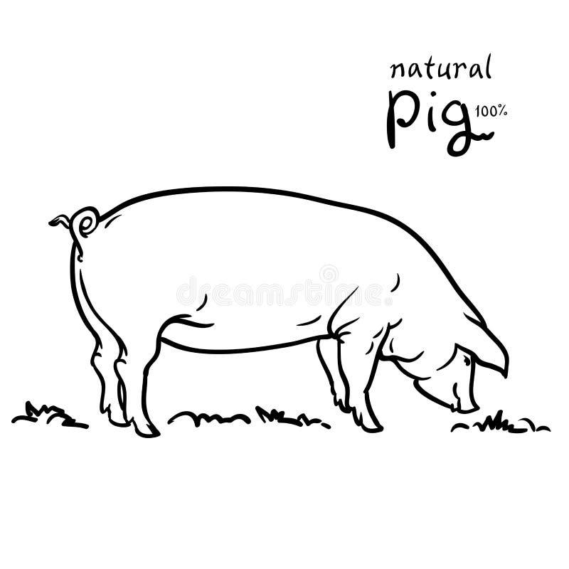 Porco da ilustração do vetor Isolado no fundo branco ilustração stock