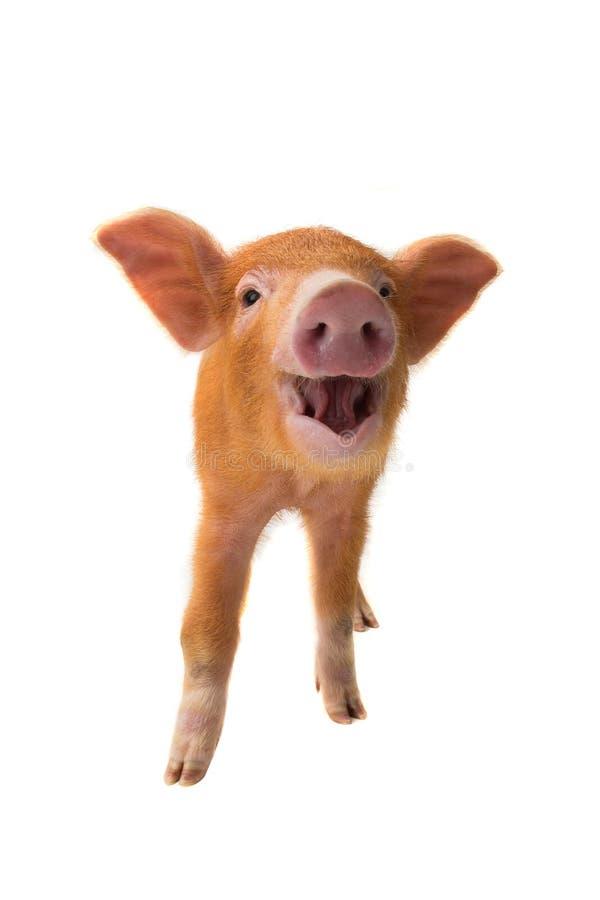 Porco do sorriso imagem de stock royalty free