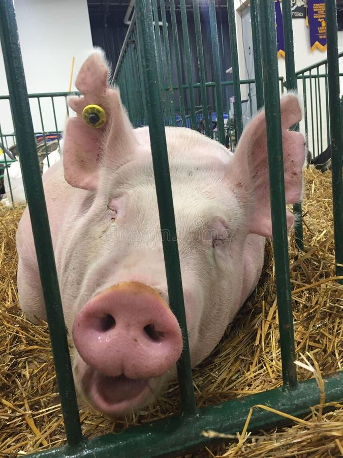 Porco dos suínos que senta-se em uma gaiola em uma feira que espera para ser julgado imagem de stock