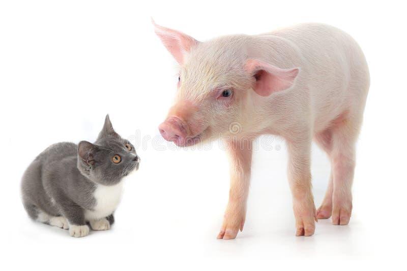 Porco e gato fotografia de stock royalty free