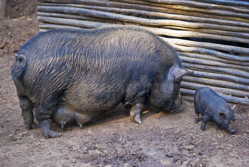 Porco e infante Pot-bellied 02 imagem de stock royalty free