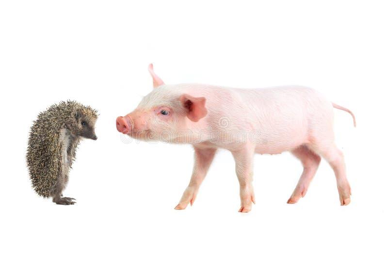 Porco e ouriço fotografia de stock
