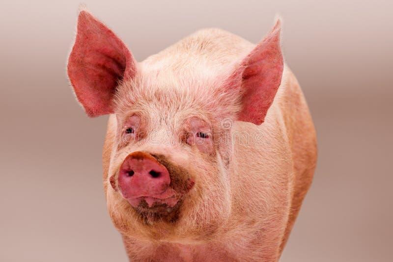 Porco grande cor-de-rosa imagens de stock