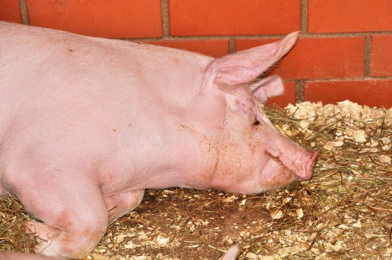 Porco grande cor-de-rosa foto de stock