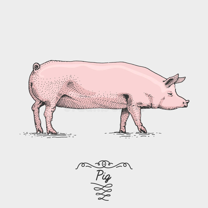 Porco gravado, ilustração tirada mão do vetor no estilo do scratchboard do bloco xilográfico, espécie do desenho do vintage ilustração stock