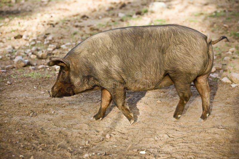 Porco ibérico no Valle de los Pedroches, Córdova fotografia de stock