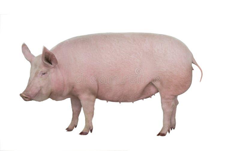 Porco isolado no branco fotografia de stock