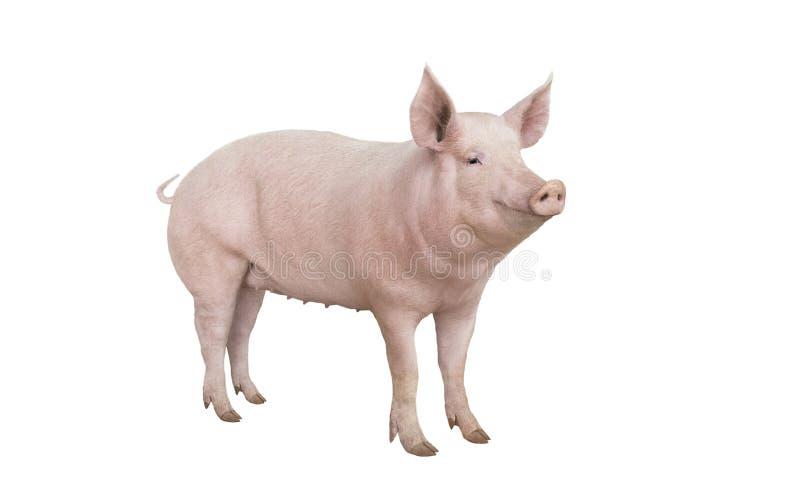 Porco isolado no branco imagens de stock