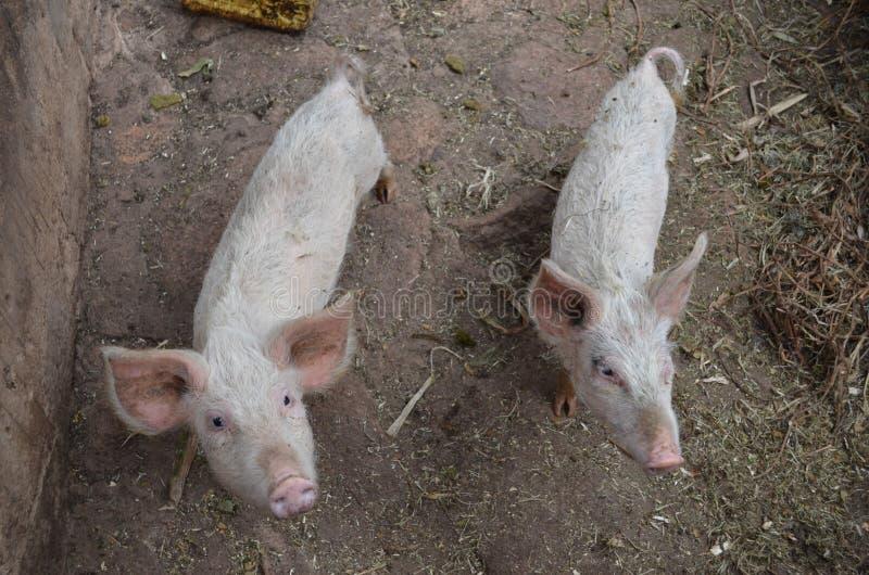 Porco livre que vive na exploração agrícola imagens de stock