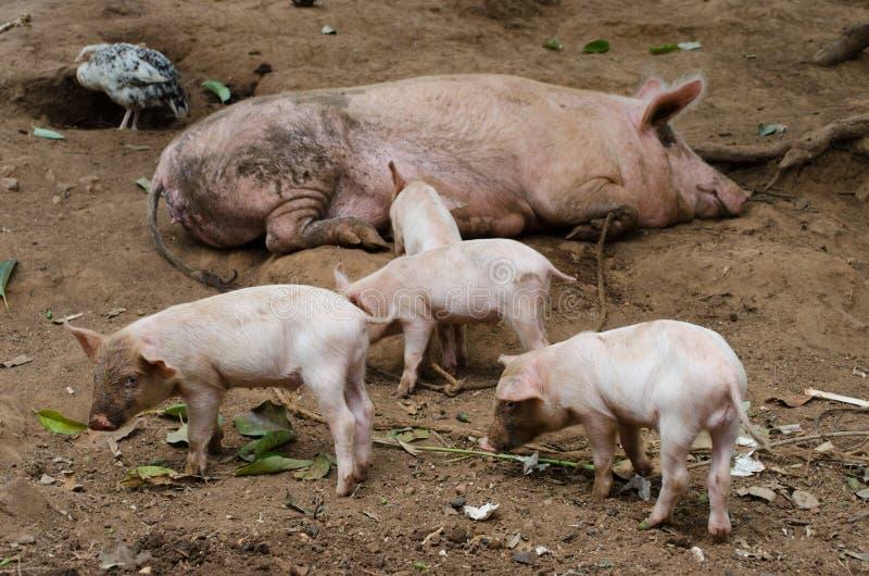 Porco livre que vive na exploração agrícola foto de stock