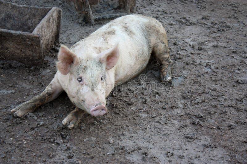 Porco na lama fotos de stock royalty free