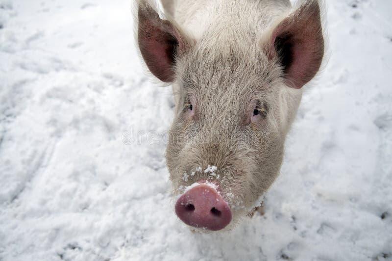 Porco na neve fotos de stock